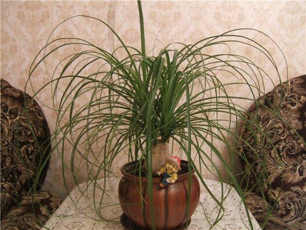 Комнатные растения слоновая нога уход